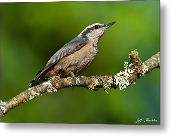 Red Breasted Nuthatch In A Tree Metal Print