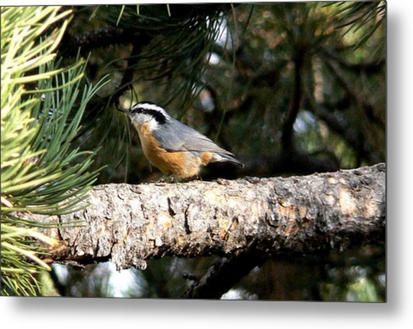 Red-breasted Nuthatch In Pine Tree Metal Print