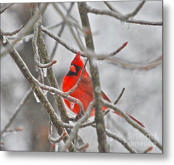 Red Cardinal Northern Bird Metal Print