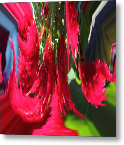 Red Celosia Plumosa  Metal Print by Rhonda Humphreys