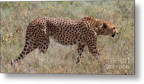 Red Cheetah Metal Print by Chris Scroggins