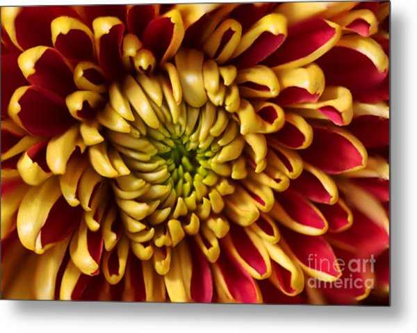 Red Chrysanthemum Metal Print