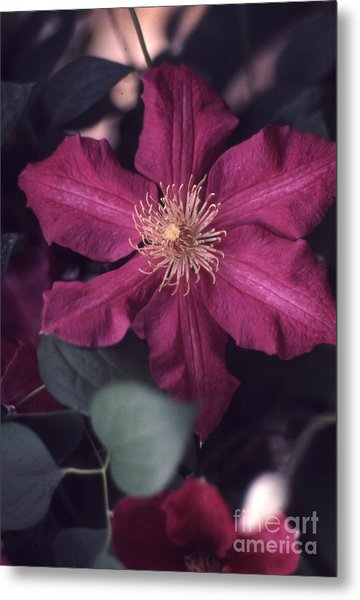 Red Clematis  133 Metal Print by Stephen Parker