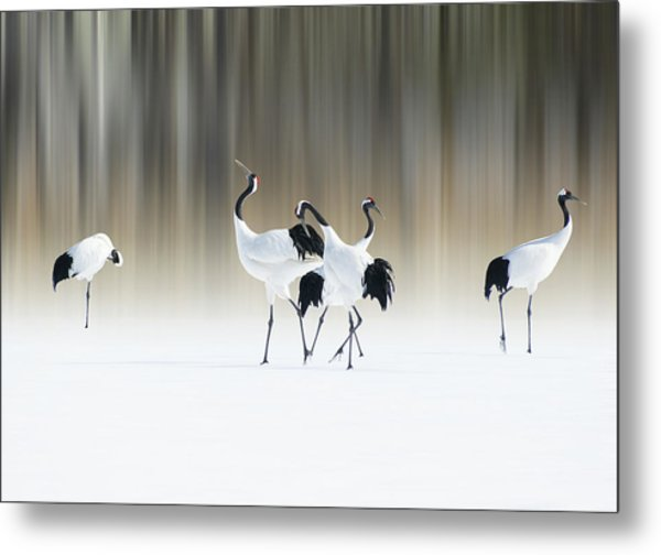 Red-crested White Cranes Metal Print by Ikuo Iga