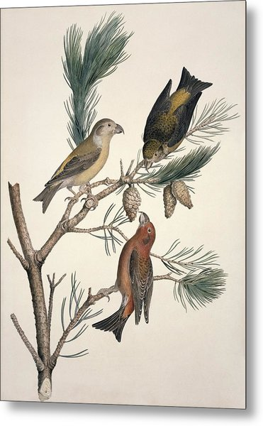 Red Crossbill, 19th Century Metal Print