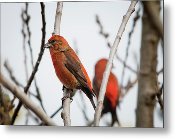 Red Crossbills Perch In A Willow Metal Print
