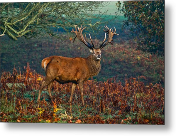 Red Deer Stag In Woodland Metal Print