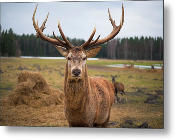 Red Deer Stag Protecting Its Fawn Metal Print by Boris Sv