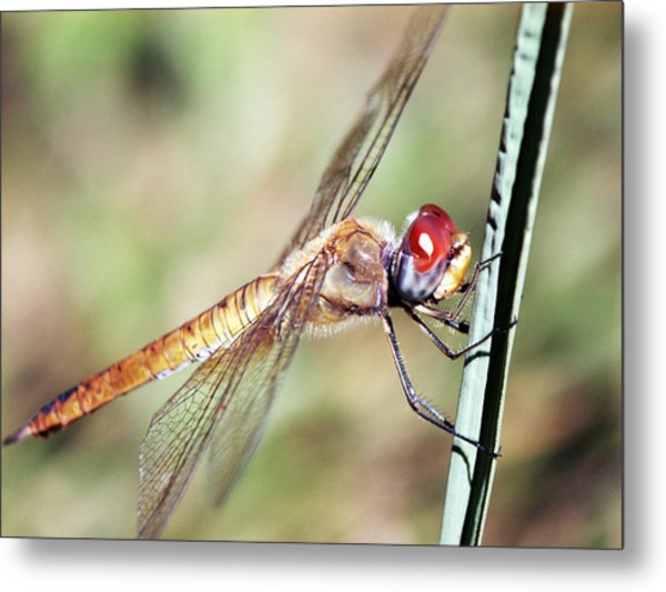 Red Dragonfly Eyes Metal Print