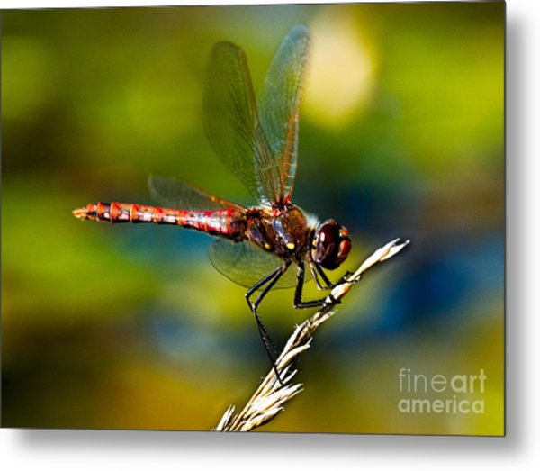 Metal Print featuring the photograph Red Dragonfly by Mae Wertz