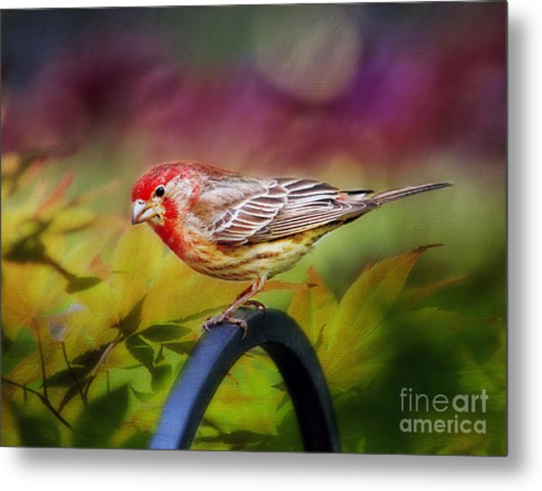 Red Finch Metal Print