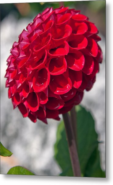 Red Flower With White Background Metal Print