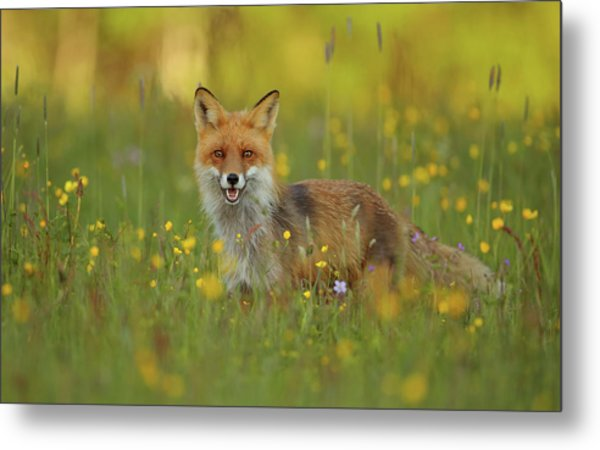 Red Fox Metal Print by Assaf Gavra