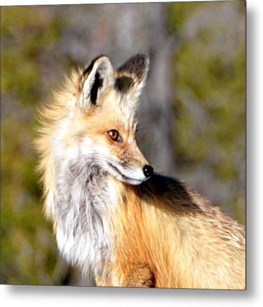 Red Fox Face Metal Print