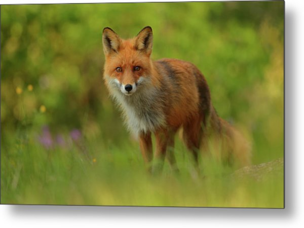 Red Fox Lady Metal Print by Assaf Gavra
