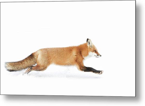 Red Fox On The Run - Algonquin Park Metal Print by Jim Cumming