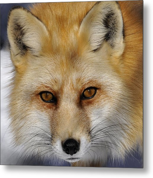 Red Fox Portrait Metal Print