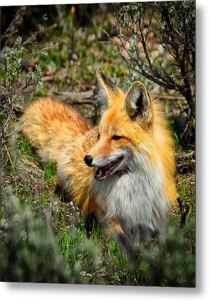 Red Fox Relaxing Metal Print
