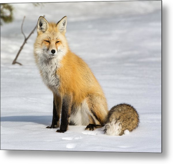 Red Fox Sitting Metal Print