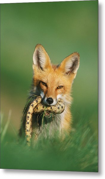Red Fox With Snake Metal Print