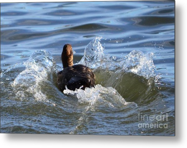 Red Head Duck Resurfaces With A Splash Metal Print