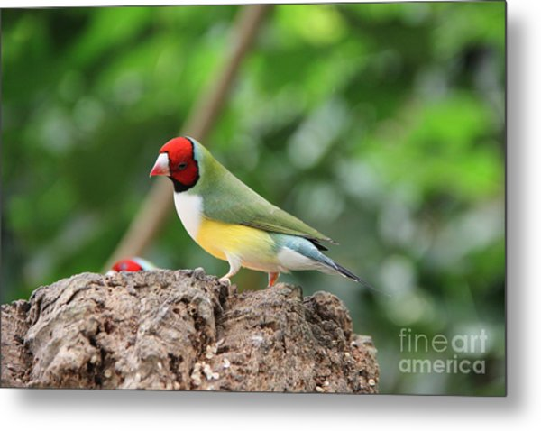Red Headed Gouldian Finch Metal Print