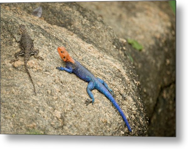 Red-headed Rock Agama Metal Print by Photostock-israel