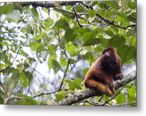 Red Howler Monkey Sitting In A Tree Metal Print