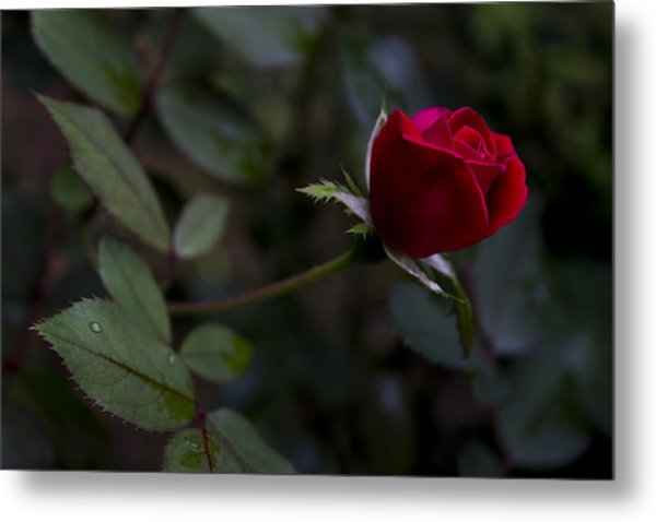 Red Knockout Rose Metal Print