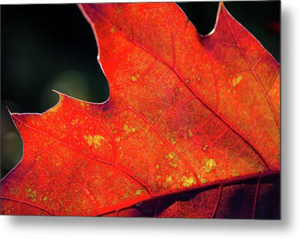 Red Leaf Rising Metal Print by Joe Martin A New Hampshire Portrait Photographer