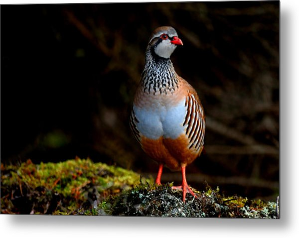 Red-legged Partridge Metal Print