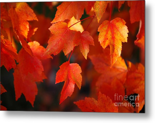 Red Maple Leaves Metal Print
