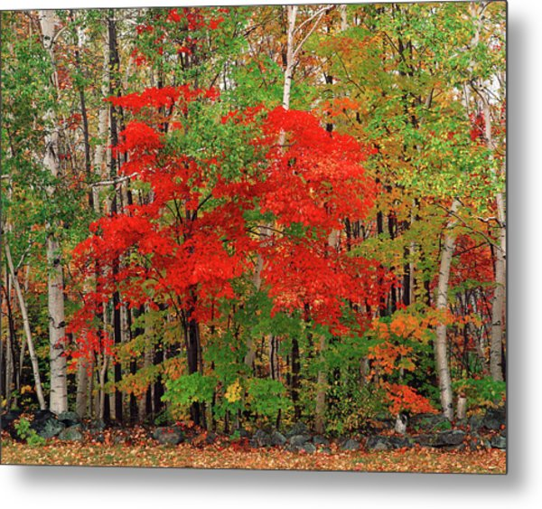 Red Maple Tree And White Birch Trees In Metal Print