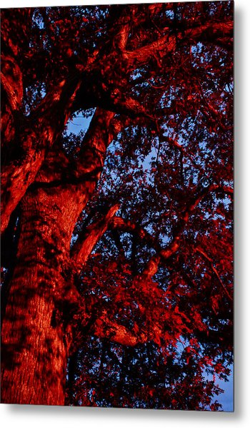 Red Oak  Metal Print
