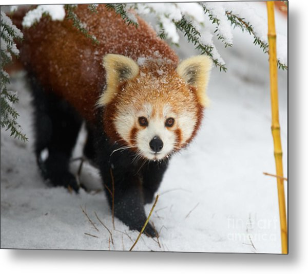 Red Panda In The Snow Metal Print
