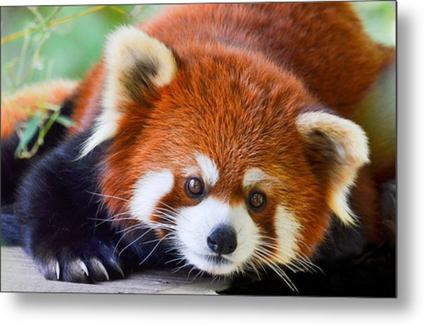 Metal Print featuring the photograph Red Panda by Michael Hubley