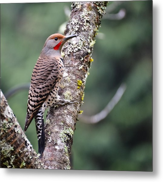 Red Shafted Flicker V Metal Print by Ronda Broatch
