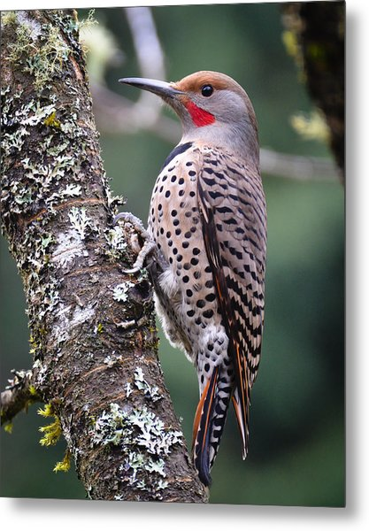 Red Shafted Flicker Vi Metal Print by Ronda Broatch