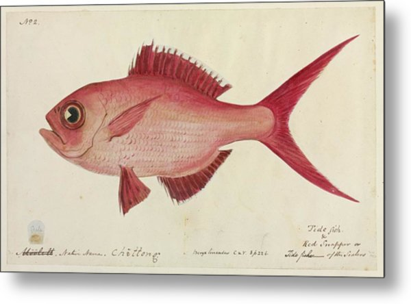 Red Snapper Fish Metal Print by Natural History Museum, London/science Photo Library