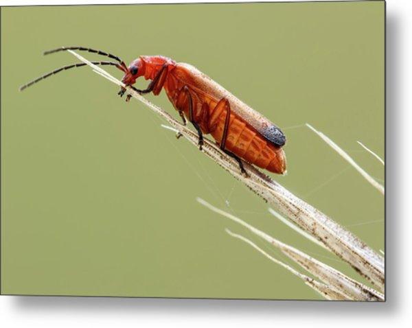 Red Soldier Beetle Metal Print