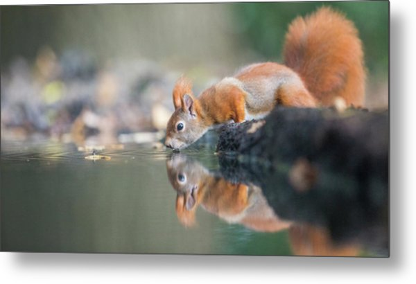 Red Squirrel Metal Print by Erik Willaert