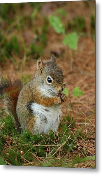 Red Squirrel In Acadia National Park Metal Print by Acadia Photography