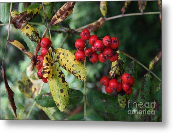 Red Summer Berries - Whistler Metal Print