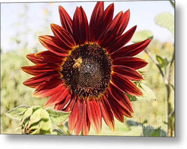 Red Sunflower And Bee Metal Print