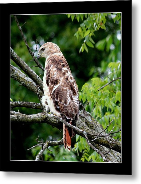 Red Tail Hawk 1 Metal Print by Rosanne Jordan