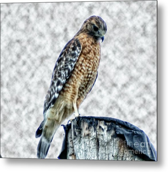 Red Tail Hawk Looking Down Metal Print