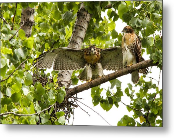 Red-tailed Fledges Metal Print by Jill Bell