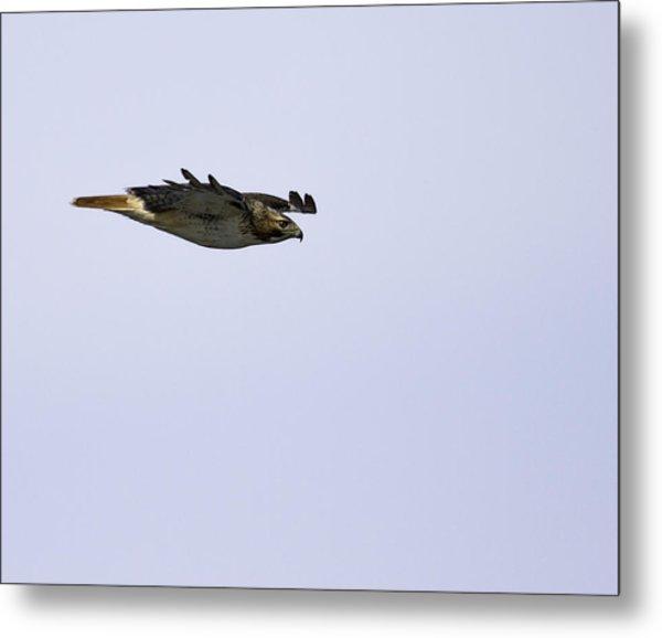 Red-tailed Hawk In Flight 3 Metal Print