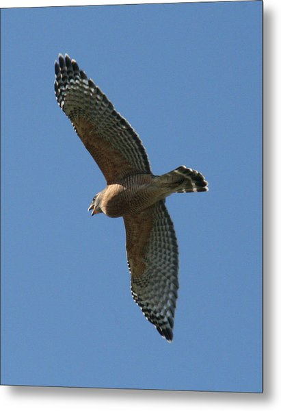 Red Tailed Hawk Metal Print by Jeff Wright
