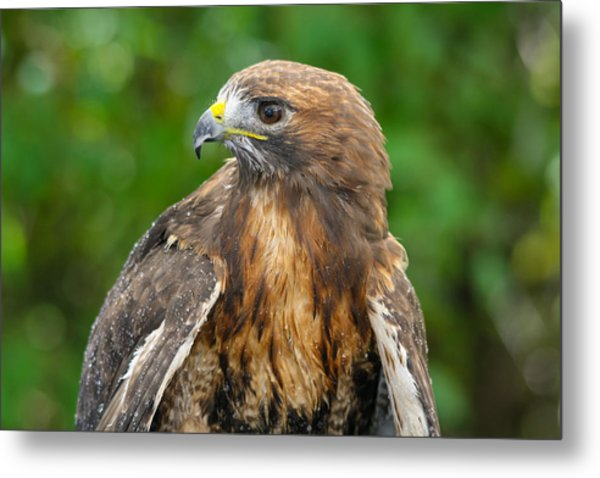Red-tailed Hawk Close-up Metal Print